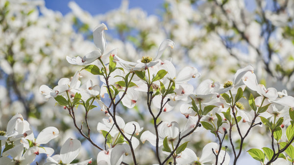 Benefits of Jamaican Dogwood All-Natural Pain Relief