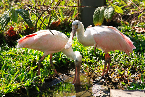We collaborate with the Fish and Wildlife Foundation of Florida. 8% of every order placed protects the imperiled Roseate Spoonbill species and its habitat.