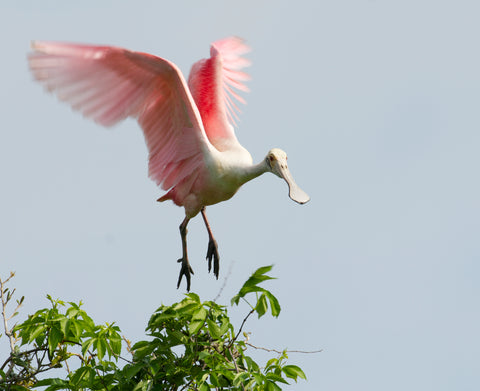 Donate to save the Roseate Spoonbill.