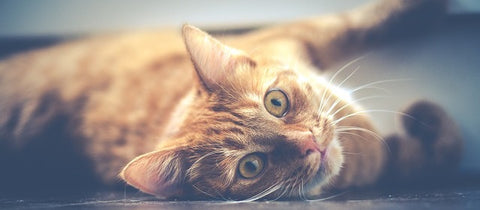 8 Interesting Facts About a Cat's Purr