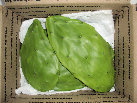 fleshy oval pads of nopal cactus