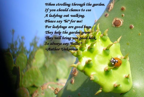 ladybugs on the nopal edible cactus