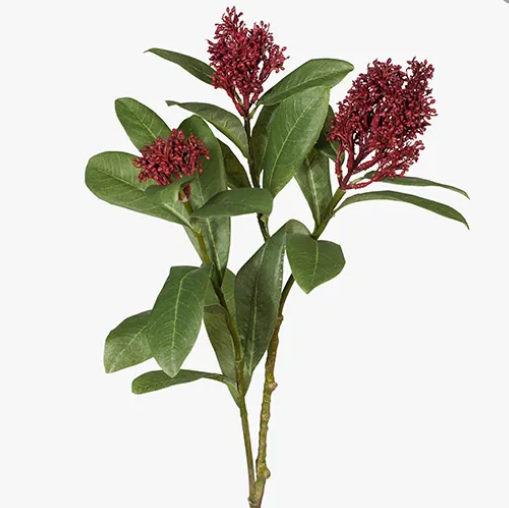 Skimmia - Red