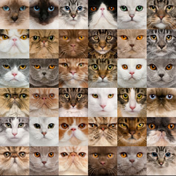 How many species of cats are there?