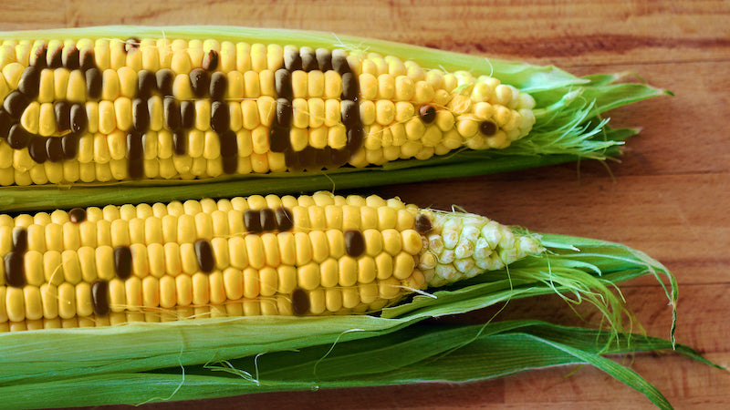 Image of corn with the word 'GMO' appearing