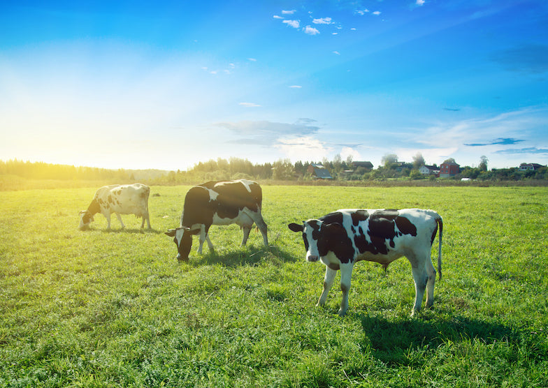 Cows on pasture in the morning