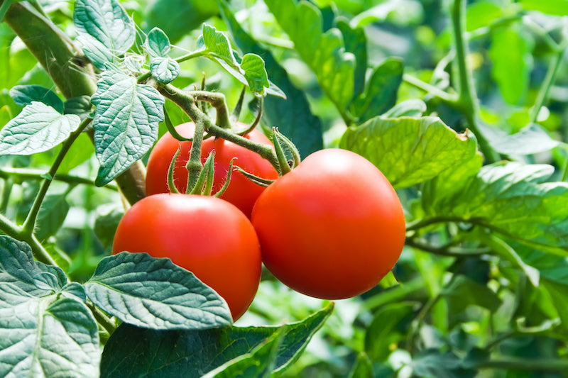 GMO frost-resistant ripe tomatoes on a vine