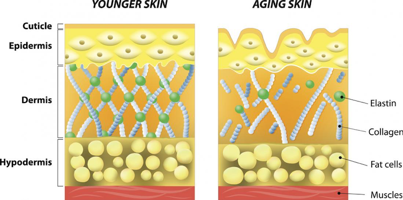Graphic showing the role of collagen in the skin at two different ages