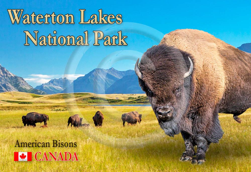 Bisons Waterton Metal Magnet