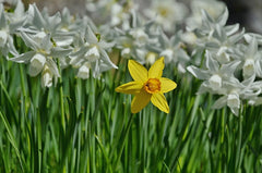Spring is here and the daffodils are blooming