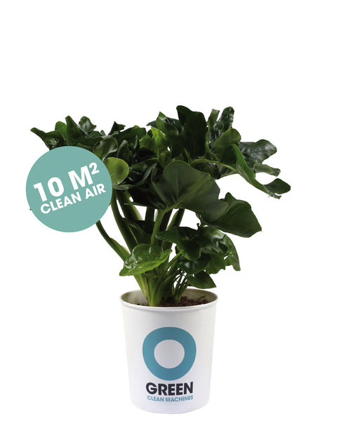 SOLD OUT Ogreen Philodendron Plant