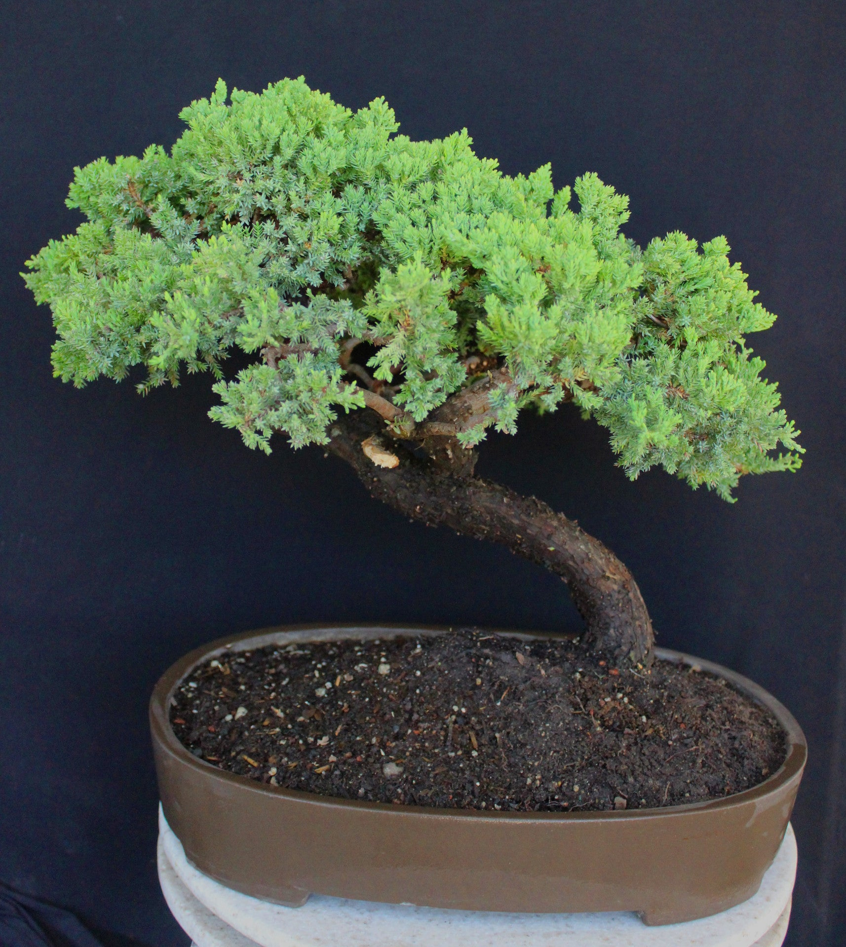 Procumbens Nana Juniper Cloud Style Specimen Bonsai Tree House Of Bonsai