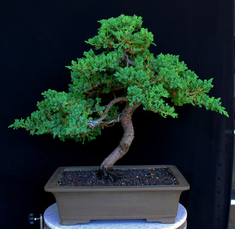 Procumbens Nana Juniper (Moyogi Style) Bonsai Tree