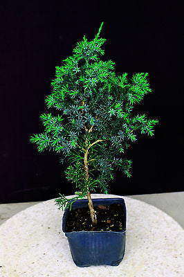 "Foemina Juniper ( Needle Juniper ) Pre-Bonsai Tree - 4"" Pot"