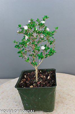"Chinese 'Snow Rose' Serissa Pre-Bonsai Tree - 4"" Pot"