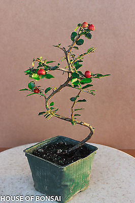 "Cotoneaster 'Cranberry' Shohin Pre-Bonsai Tree - 4"" Pot"