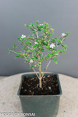 "Chinese Serissa 'Mt. Fuji' Pre-Bonsai Tree - 4"" Pot"