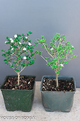 "Chinese 'Mt. Fuji' & 'Snow Rose' Serissa Pre-Bonsai Trees - 4"" Pot Set of 2"