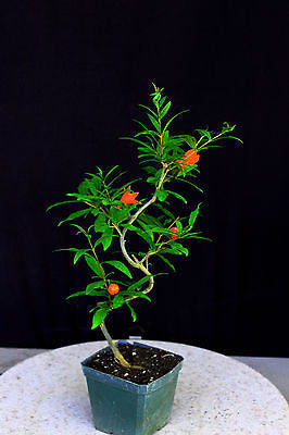 "Japanese Twisted Pomegranate Pre-Bonsai - 4"" Pot"