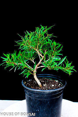 Willow Leaf 'Nerifolia' Ficus Pre-Bonsai Tree