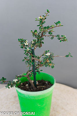 "Cotoneaster Shohin Pre-Bonsai Tree - 4"" Pot"