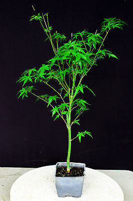 "Katsura Japanese Green Maple Pre-Bonsai - 4"" Pot"