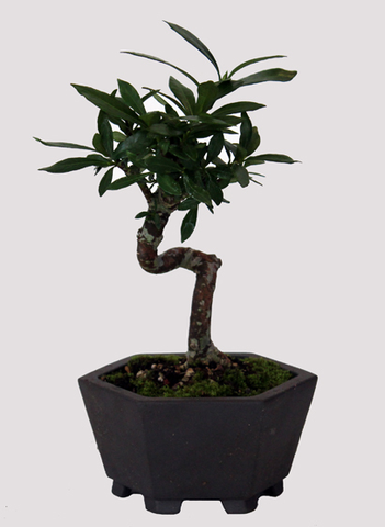 Cape Jasmine Gardenia Shohin Bonsai Tree