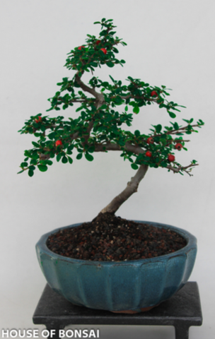 "Cotoneaster Bonsai Tree - Large, about 13"" Tall"