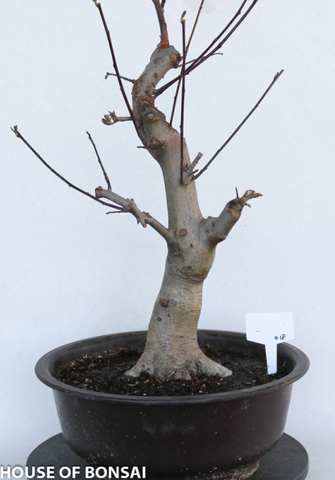 Flowering Crab Apple Specimen Bonsai Tree