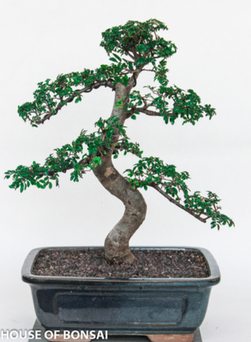 Chinese 'Small Leaf' Elm Bonsai Tree - Large