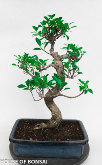 Golden Gate Ficus Bonsai Tree - Large