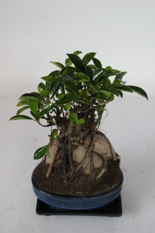 Banyan Fig with Aerial Roots Shohin Bonsai Tree