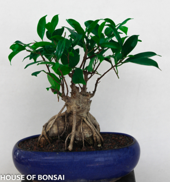Ginseng Ficus Bonsai Tree House Of Bonsai