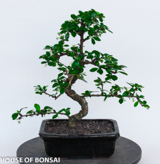 Fujien Tea Bonsai Tree - Medium