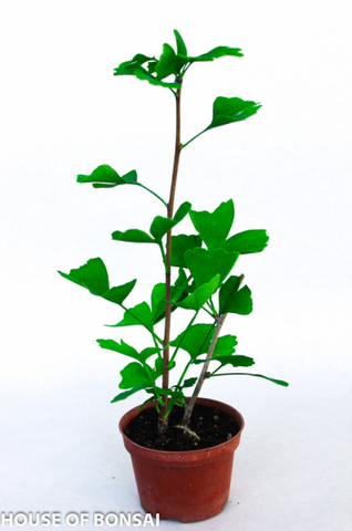 "Ginkgo Biloba Pre-Bonsai Trees - 4"" pot Set of 3"