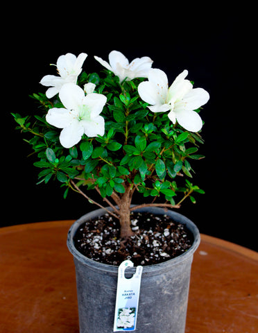 "Japanese Satsuki Azalea 'Hakata Jiro'  6"" Pre-Bonsai Tree - White Flowers"