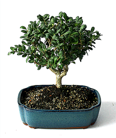 Japanese Ilex Bonsai Tree