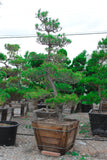 "Japanese Black pine  Garden Bonsai Tree - 30"" Wooden Box"