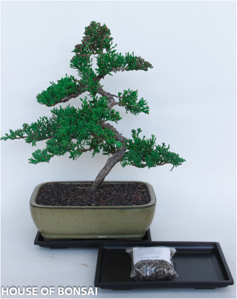 Procumbens Nana Juniper Bonsai Tree Medium Gift Set With Tray Fert House Of Bonsai