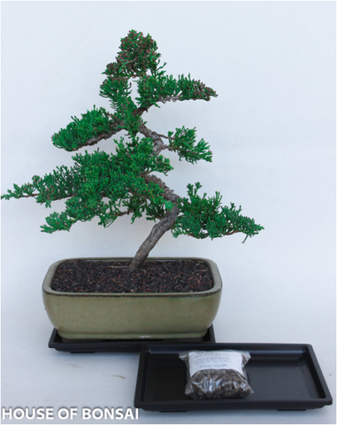 Procumbens Nana Juniper Bonsai - Medium Tree Gift Set with Tray & Fertilizer