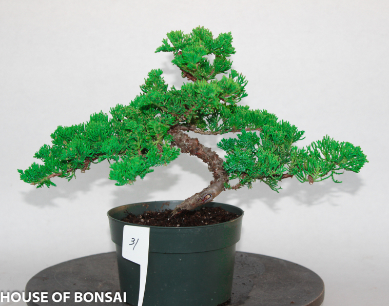 The green mound juniper bonsai 28 images green mound for 1800 flowers bonsai