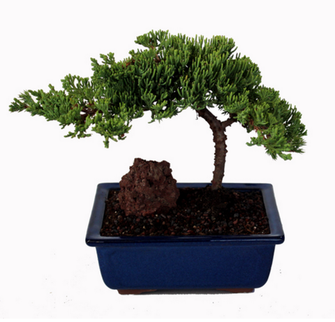 Procumbens Nana Juniper Bonsai Tree - Small