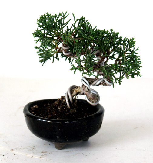 Shimpaku Kishu Juniper Shohin Bonsai Tree House Of Bonsai