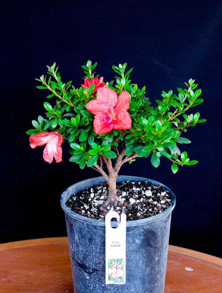 "Japanese Satsuki Azalea 'Kinpai' 6"" Pre-Bonsai Tree - Coral Red with White Center"