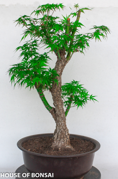 Japanese Arakawa Cork Bark Maple Bonsai Tree Dormant