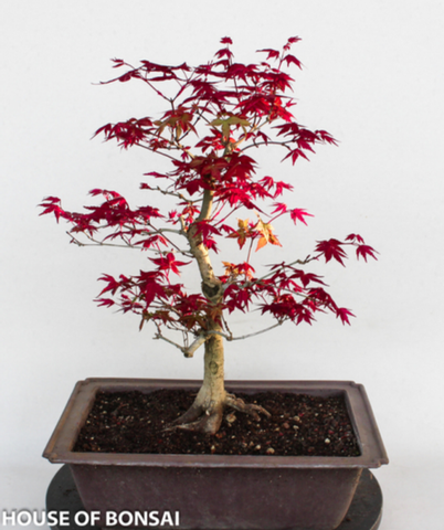 Japanese 'Deshojo' Red Maple Bonsai Tree (Dormant)