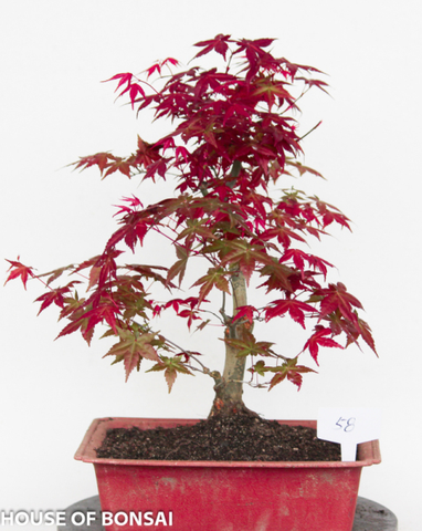 Japanese Red 'Deshojo' Maple Specimen Bonsai Tree