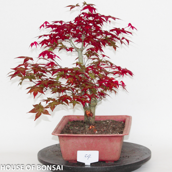 Japanese Red Deshojo Maple Specimen Bonsai Tree Dormant