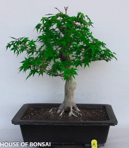 Japanese Green 'Katsura' Maple Specimen Bonsai Tree