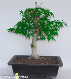 Japanese Green 'Katsura' Maple Specimen Bonsai Tree (Dormant)